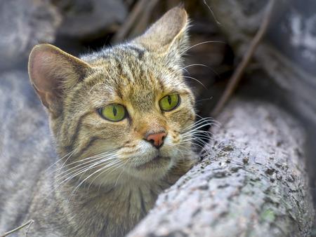 felid: European wild cat (Felis silvestris silvestris) portrait