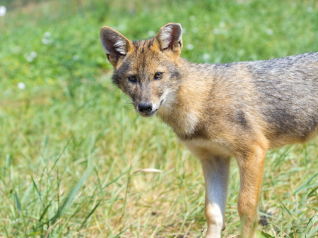 canid: European golden jackal (Canis aureus) puppy in the field