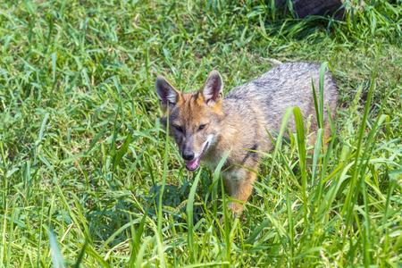 carnivores: European golden jackal (Canis aureus) puppy in the field
