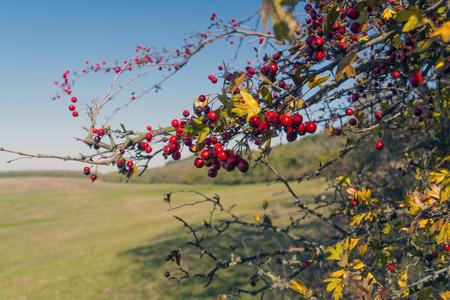 Fruits of hawthorn Crataegus common monogynaon a sunny autumn day Standard-Bild