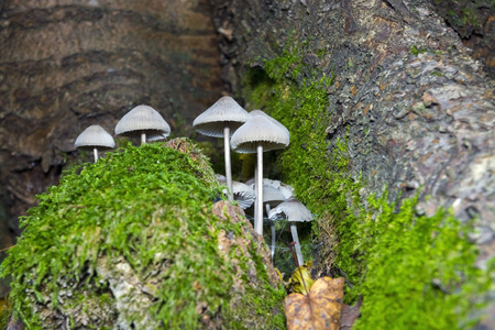 bonnet: Grooved bonnet (Mycena polygramma) mushroom in a forest
