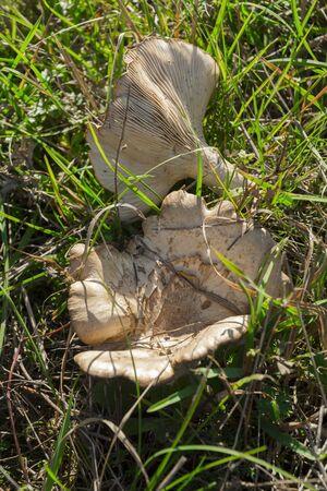 gilled: Clitocybe costata mushroom in the pasture near Balatonkenese, Hungary Stock Photo