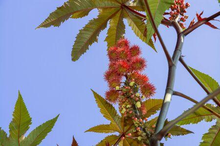 communis: Castor oil plant (Ricinus communis) in autumn