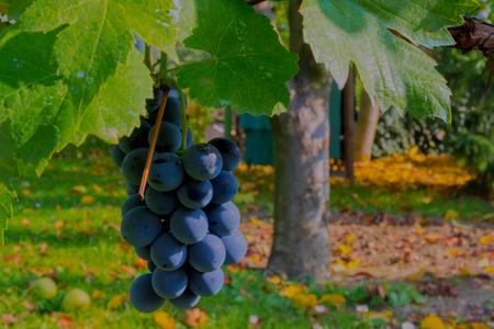 Othello grape (Vitis vinifera x (Vitis labrusca x Vitis riparia)) in autumn