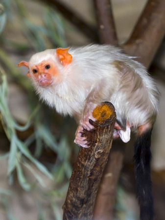 Silvery marmoset (Mico argentatus or Callithrix argentata) Banco de Imagens