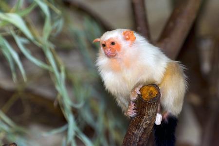 silvery: Silvery marmoset (Mico argentatus or Callithrix argentata) Stock Photo