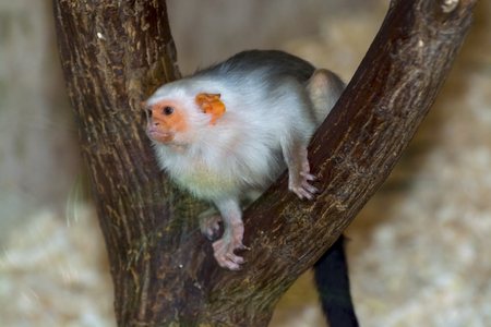 the silvery: Silvery marmoset (Mico argentatus or Callithrix argentata) Stock Photo