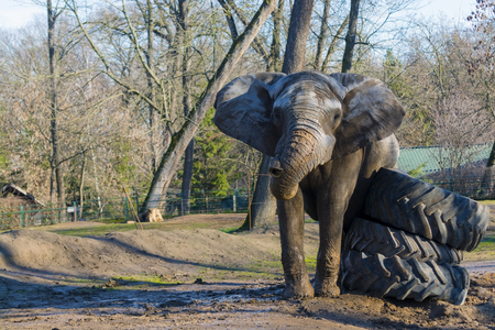 elephant angry: African elephant (Loxodonta africana) bull is fighting against rubber wheels during musth