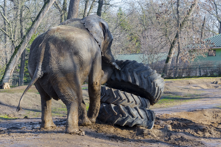 africana: African elephant (Loxodonta africana) bull is fighting against rubber wheels during musth