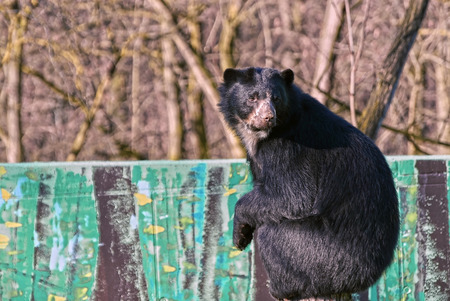 spectacled: Spectacled bear (Tremarctos ornatus) sitting at the top of the wall
