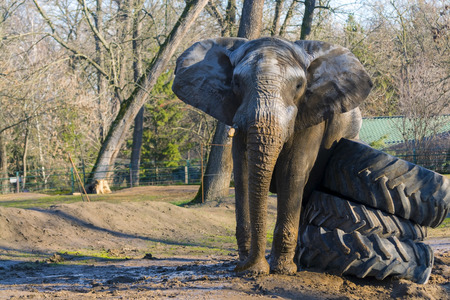 loxodonta: African elephant (Loxodonta africana) bull is fighting against rubber wheels during musth