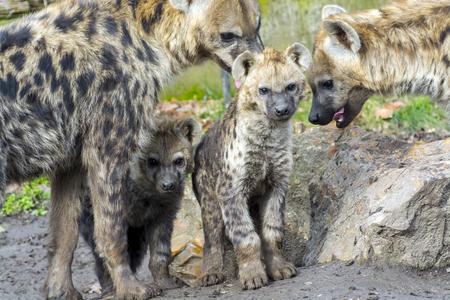 hienas: Young and older spotted hyenas (Crocuta crocuta) Foto de archivo