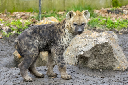 spotted: Young spotted hyena (Crocuta crocuta)