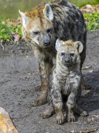 hienas: hienas jóvenes y mayores manchadas (Crocuta crocuta) Foto de archivo