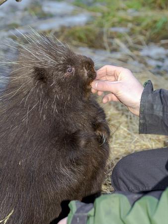 north american: Feeding a North American or common porcupine (Erethizon dorsatum)