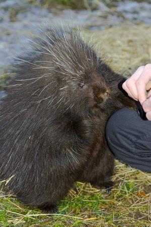 north american: North American or common porcupine (Erethizon dorsatum)