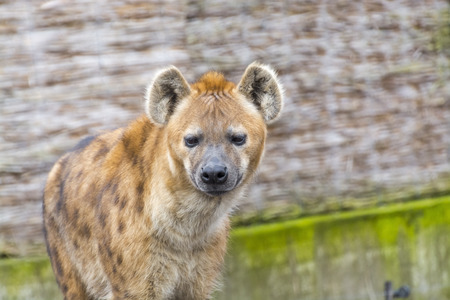 hyena: African spotted hyena (Crocuta crocuta) portrait in a zoo Stock Photo