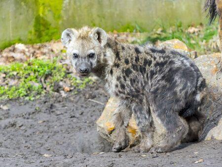 carnivora: Young spotted hyena (Crocuta crocuta)