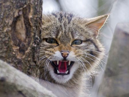 wild cat: European wild cat (Felis silvestris silvestris) is threatening