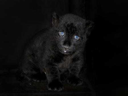 felid: Black jaguar (Panthera onca) cub in house Stock Photo