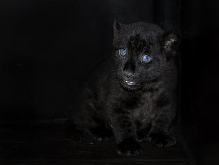 panthera onca: Black jaguar (Panthera onca) cub in house Stock Photo