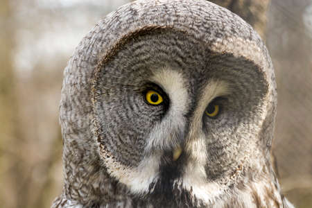 strigiformes: Great gray owl (Strix nebulosa) close portrait