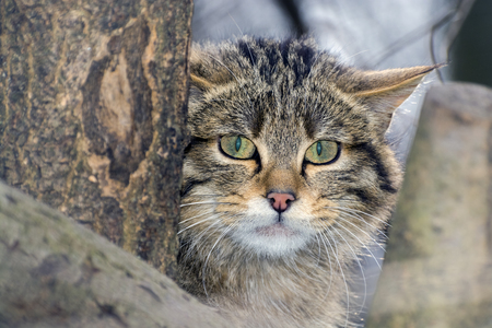 carnivora: European wild cat (Felis silvestris silvestris) portrait