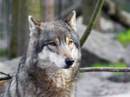 canid: European gray wolf (Canis lupus lupus) portrait