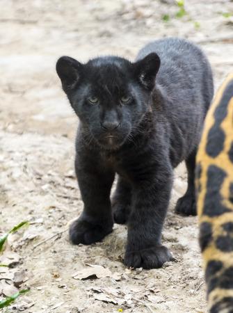 felid: Black jaguar (Panthera onca) baby Stock Photo
