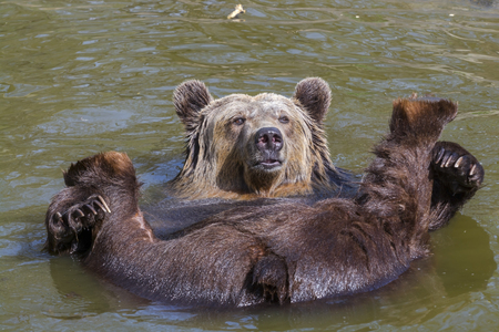 hedonism: European brown bear (Ursus arctos arctos) lies supine in the water Stock Photo