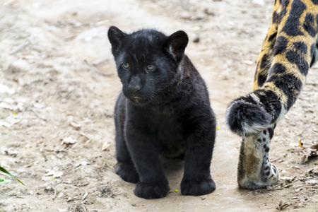panthera onca: Black jaguar (Panthera onca) baby Stock Photo