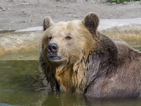 arctos: European brown bear (Ursus arctos arctos) in water Stock Photo