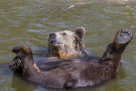 hedonism: European brown bear (Ursus arctos arctos) lies supine in the water Stock Photo