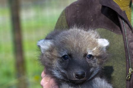 canid: Maned wolf (Chrysocyon brachyurus) puppy in hand during vet examination Stock Photo