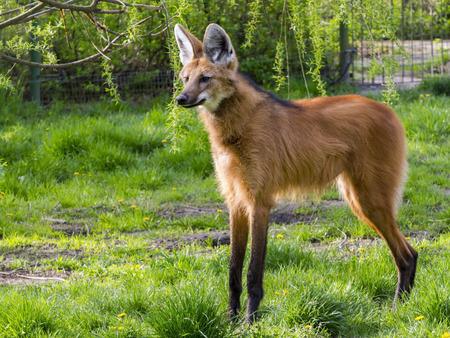 Adult maned wolf (Chrysocyon brachyurus) is standing