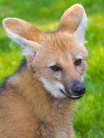 canid: Maned wolf (Chrysocyon brachyurus) female head
