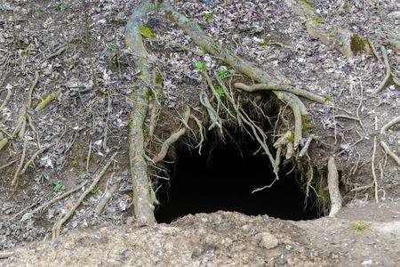 animal den: Entrance of a brown bear (Ursus arctos) den in a forest