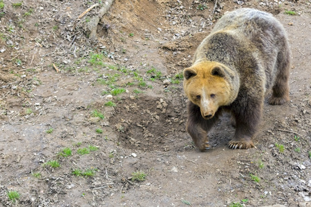 arctos: European brown bear (Ursus arctos arctos) is going down on a slope Stock Photo