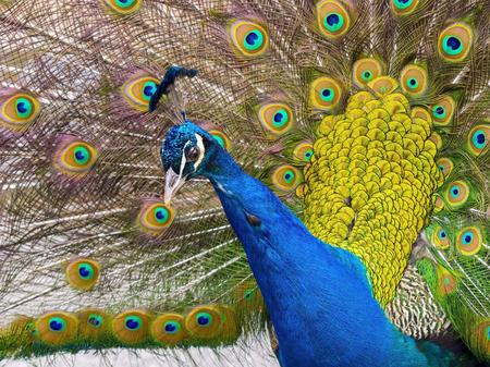 peafowl: Indian peafowl or blue peafowl (Pavo cristatus) head