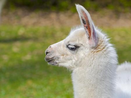 White llama (Lama glama) cria Stock Photo