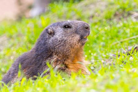 guarding: Alpine marmot (Marmota marmota) is guarding at the opening of its burrow