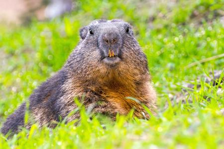 burrow: Alpine marmot (Marmota marmota) is guarding at the opening of its burrow