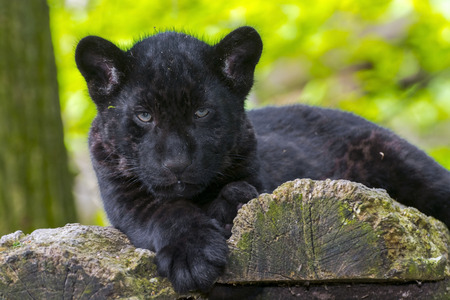 Black jaguar (Panthera onca) cub
