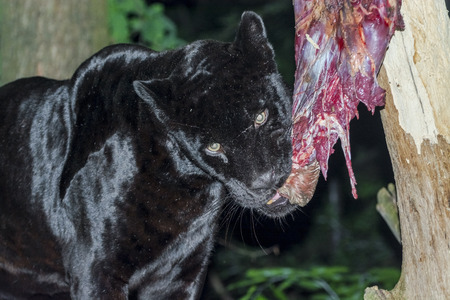 Male black jaguar (Panthera onca) eating a horse leg at night
