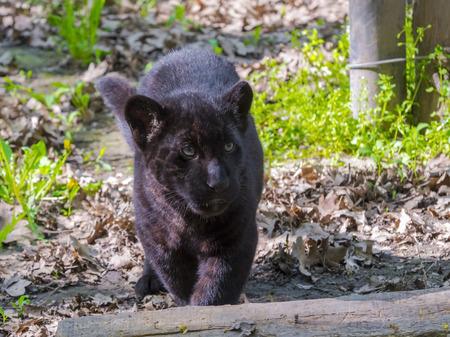 panthera onca: A young black jaguar (Panthera onca) cub Stock Photo