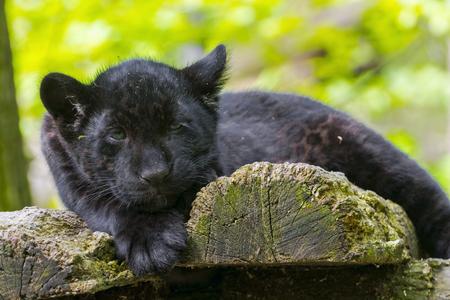 cachorro: Jaguar negro (Panthera onca) cachorro
