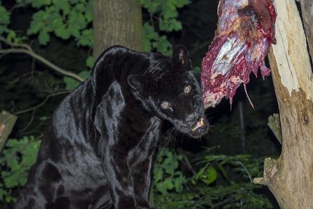 flesh eating animal: Male black jaguar (Panthera onca) eating a horse leg at night