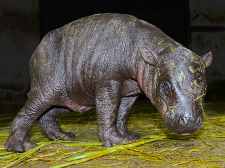 pygmy: Pygmy hippopotamus (Hexaprotodon or Choeropsis liberiensis) baby