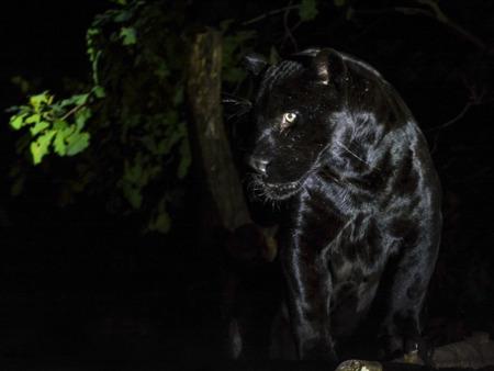 panthera onca: Male black jaguar (Panthera onca) at night