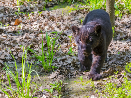 cachorro: Un joven jaguar negro (Panthera onca) cachorro